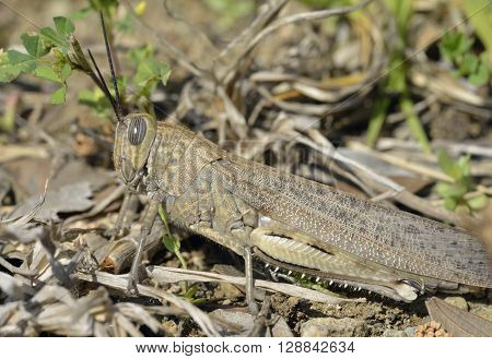 Egyptian Grasshopper - Anacridium aegyptium Large Insect from Cyprus