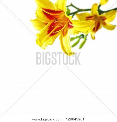 close-up hemerocallis flowers isolated on white background