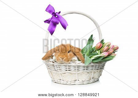 Adorable red domestic lop-eared rabbit sitting in basket with bunch of tulips. Isolated over white background. Copy space.