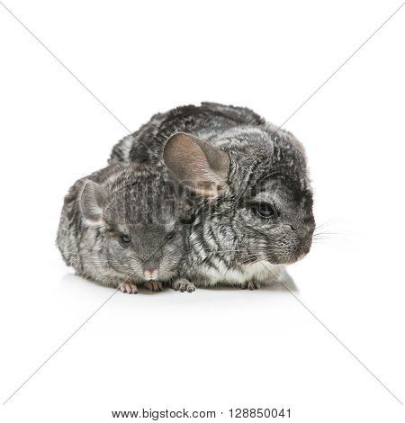 Chinchilla mother with baby sitting isolated over white background. Copy space. Square composition.