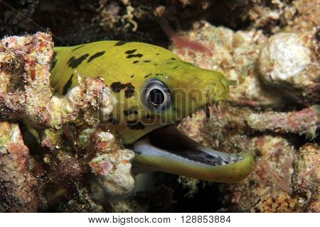 Close-up of a Fimbriated Moray (Gymnothorax Fimbriatus aka Darkspotted Moray Spot-face Moray) with Open Mouth. Mansuar Raja Ampat Indonesia