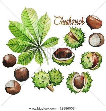 Watercolor chestnut: leaves and nuts isolated on white background