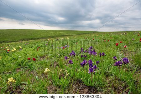 Wild steppe tulips and irises is flowering on beautiful spring meadow