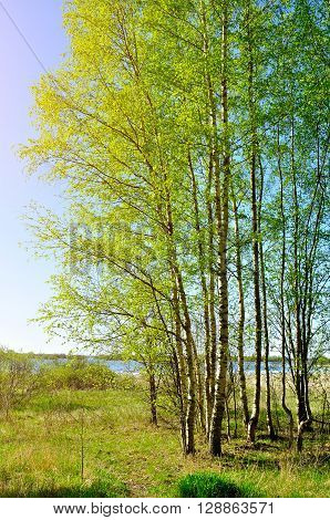 Spring sunny landscape - small birch grove under sunshine on the bank of the river in good sunny weather. Spring picturesque landscape.