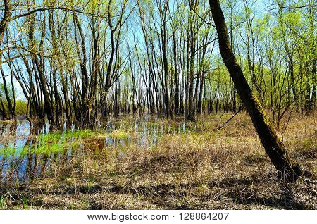 Spring forest landscape - riparian forest trees flooded with overflowing river water in sunny spring weather. Spring picturesque forest landscape.