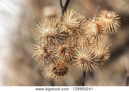 Dried Burrs on the Plant in Fall