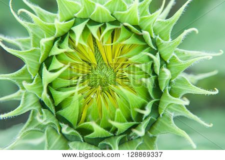 Sunflower close up. Bright yellow sunflowers. Sunflower background. Before flowering sunflower. Sunflower bud.