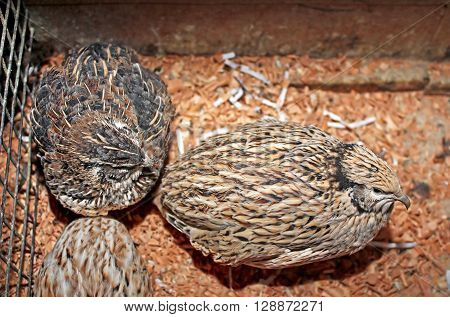 Few quails in a cage (close up)
