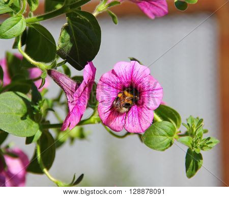 furry striped bumblebee climbed his head deep in pink Petunia flower, collecting nectar