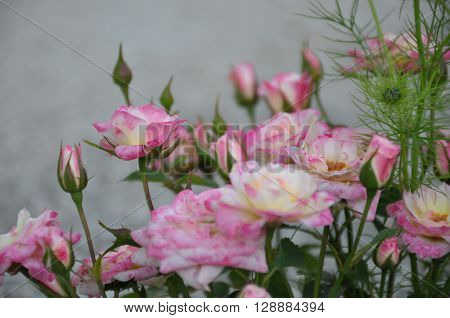 pink, flower, greenery, garden, decoration, parks, roses