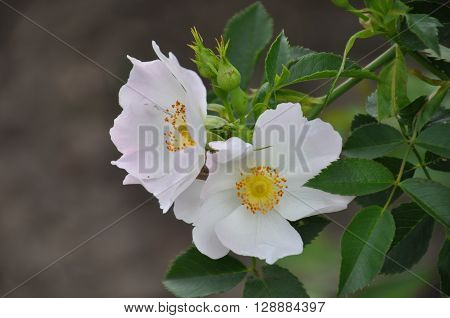 White rose hip blossoms with green leaves