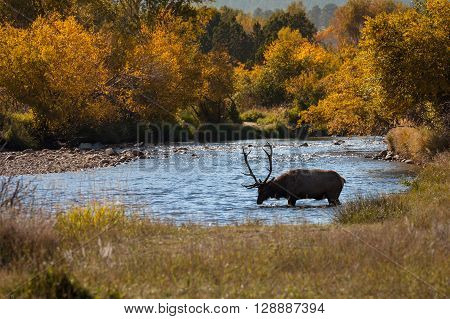 a bull elk drinking in a stream in fall