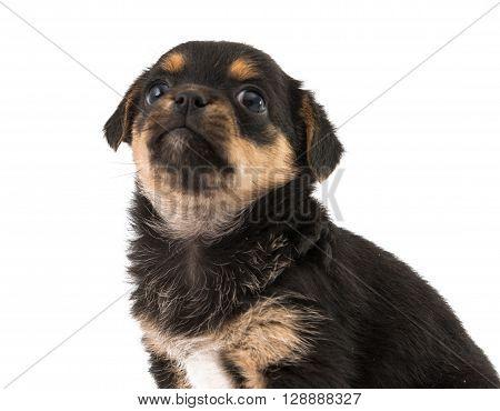 puppy isolated on white background, hound, innocence,