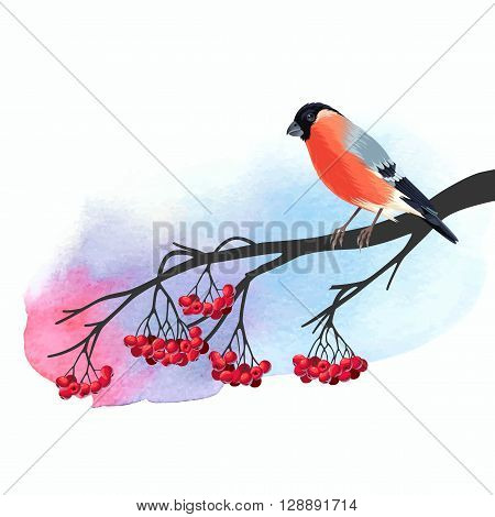 Illustration of bullfinch on rowan branch with watercolor background