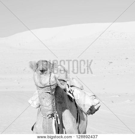 In Oman Empty Quarter Of Desert A Free Dromedary Near The  Sky