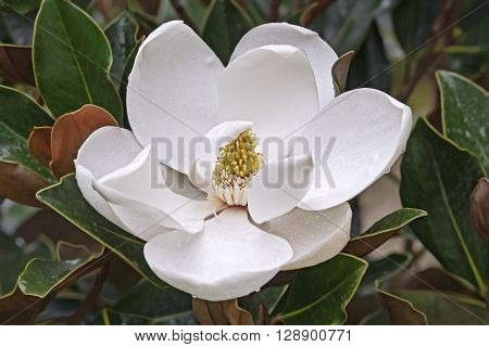 Southern magnolia (Magnolia grandiflora). Called Evegreen Magnolia Bull Bay Bullbay Magnolia Laurel Magnolia and Loblolly Magnolia also. Close up image of flower