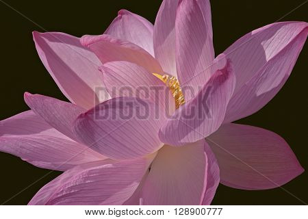 Sacred lotus (Nelumbo nucifera). Called Indian Lotus Bean of India and Lotus also. Close up image of flower isolated on black background