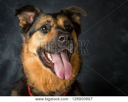 A german shepard cross breed mongrel called Coco