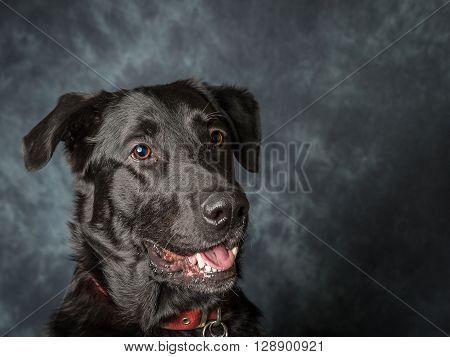 Black Labrador Called barney a rescue dog