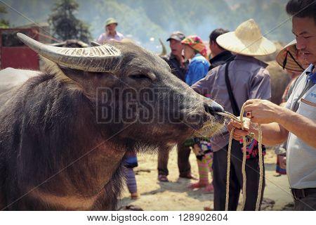 Lao Cai market Sapa Vietnam 5 April 2015: man ties a rope by the nose buffalo