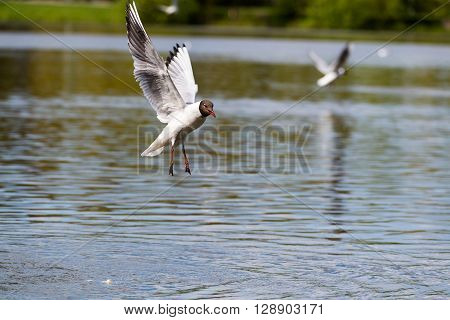 Mediterranean Gulls in small natural lake near Kaliningrad, Russia