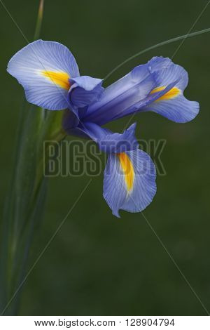 Dutch iris (Iris xiphium). Called Spanish iris also. Another scientific names are Iris lusitanica and Iris x hollandica. Close up image of single blue flower