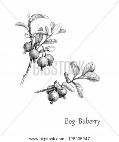 Hand drawn illustration of forest berries. Twigs of Bog Bilberry. Monochrome sketch blueberry. Wild berry set.