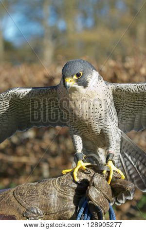 Trained Peregrine Falcon (Falco peregrinus) used in the sport of falconry stands perched on the trainer's gloved hand.