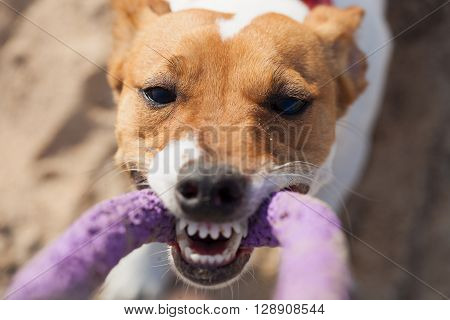 Little Jack Russell Terrier Dog Playing With Puller Toy