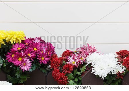 Different decorative flowers - gerbera chrysanthemum daiys in flowerpots behind wooden fence. White wall with copy space for text no models