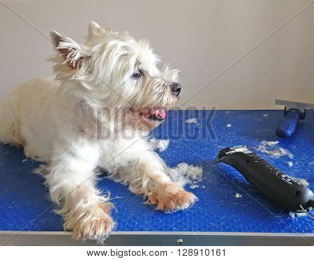 West highland terrier westie dog in the middle of being groomed with clippers