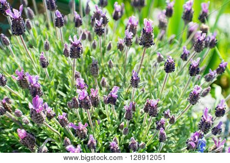 lavender stoechas from Spain with colorful blossom