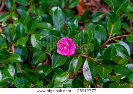 Camellia flower against green foliage background. Pink violet Japanese Camellia flower surrounded with glossy green leaves. Close up selective focus space for text
