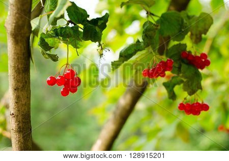 Bunches of red berries on Guelder rose or Viburnum opulus shrub, summer season