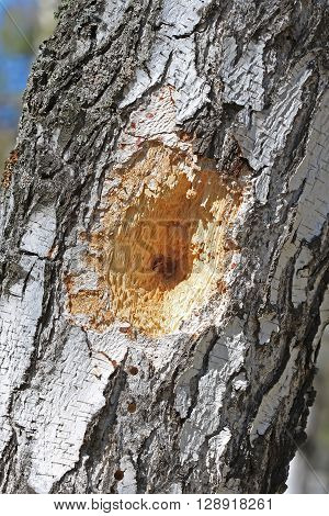 The trunk of a Birch tree with holes made by a Woodpecker bird during the search of the larvae of bark beetle