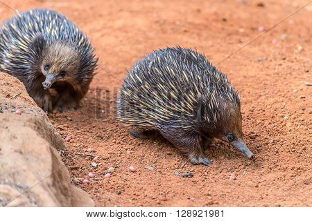 Short-beaked Echidnas in Australia. Echidnas, sometimes known as spiny anteaters, belong to the family Tachyglossidae in the monotreme order of egg-laying mammals.