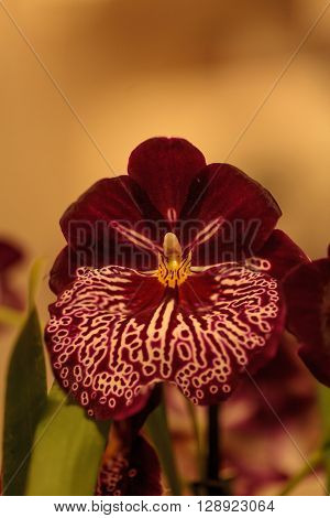 Macro of the deep red pattern on a white pansy orchid Miltoniopsis background in spring. ** Note: Shallow depth of field