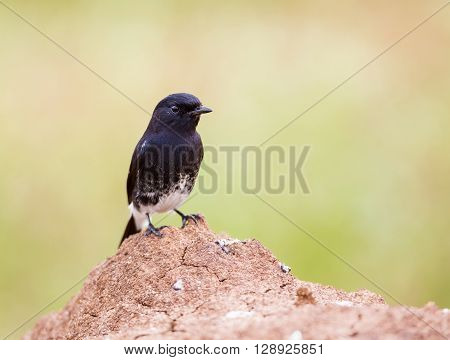 Pied Bushchat perched on a termite mound in a field near Bangalore India.