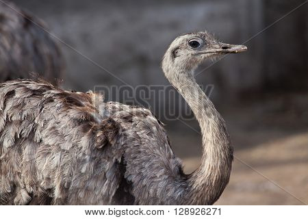 Darwin's rhea (Rhea pennata), also known as the lesser rhea. Wild life animal.