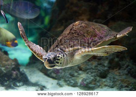 Loggerhead sea turtle (Caretta caretta), also known as the loggerhead. Wild life animal.