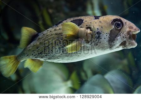 Longspined porcupinefish (Diodon holocanthus), also known as the freckled porcupinefish. Wild life animal.