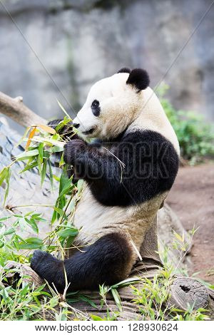 cute giant panda bear eating bamboo grass