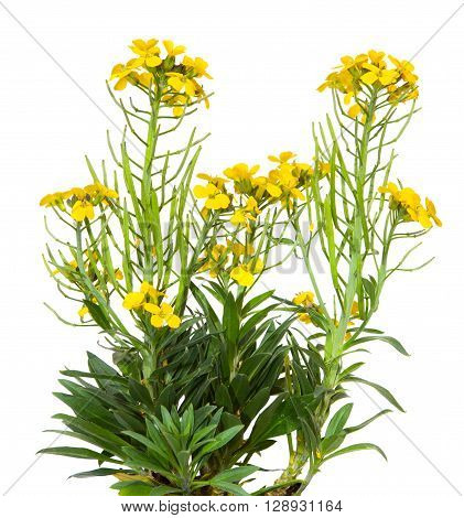 Yellow Blossoms Of The Erysimum Cheiry Plant.