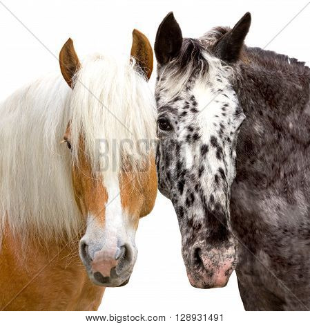 Heads of a Haflinger and Knabstrupper Horse looking friendly and close together.