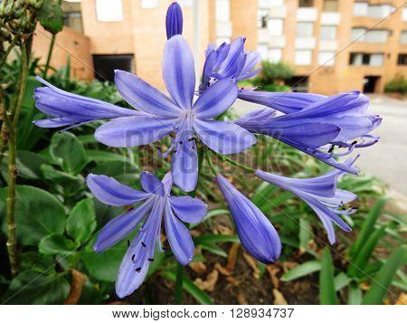 Agapanthus blooming blue summer flower in city street