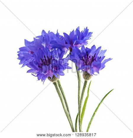 Flowers cornflowers on a white background blossom, bloom, wildflower,