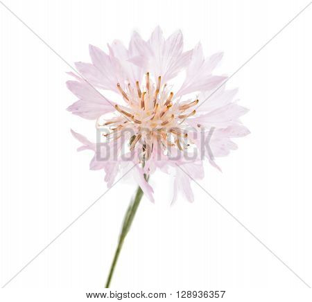 Flowers cornflowers on a white background floral, petal, head,