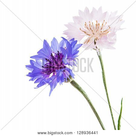 Flowers cornflowers on a white background studio, shot, boutonniere,