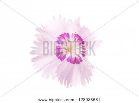 decorative carnation on a white background, nature, single, botany,