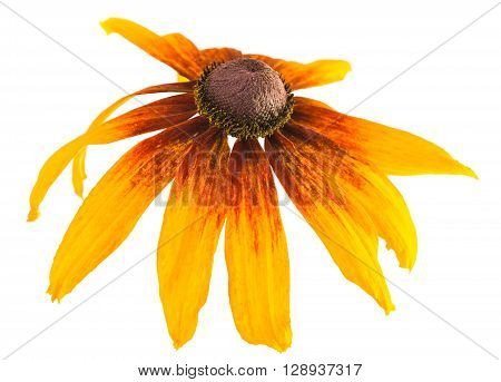 big yellow flower on a white background ** Note: Shallow depth of field